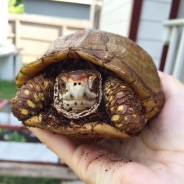 Bruce, my rescued 3-toed box turtle.